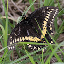 Black Swallowtail (male)