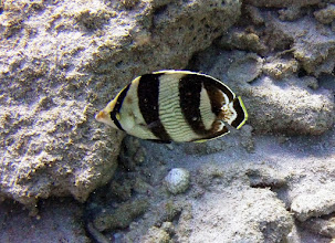 Photo: Banded Butterfly Fish. Usually in pairs. Common