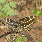 Common Archduke ( Female )