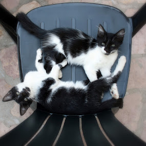 Relaxing kittens  by Emil Chuchkov - Animals - Cats Portraits ( cats cuckove canon pets )