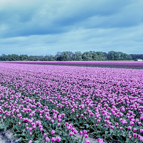Tulip Field by Aamir DreamPix - Flowers Flower Gardens ( uk, europe, purple, tulip garden, purple flowers, amsterdam, tulips, field, london, tulip, holland, flowers, flower, fields,  )