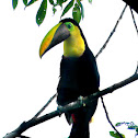 Chestnut-mandibled Toucan, Swainson's Toucan