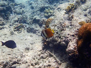 Photo: Chaetodon kleinii (Blacklip Butterflyfish), Entatula Island Beach Club reef, Palawan, Philippines.