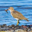 Spotted Sandpiper, Juvenile