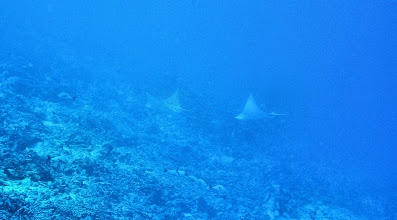 Photo: The best shot we could get of Spotted Eagle Rays