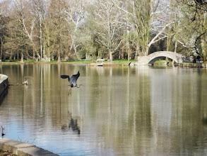 Photo: Crane flying over its reflection at Eastwood Park in Dayton, Ohio.