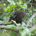Hoatzin (chick)
