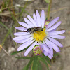 Lyall's Aster