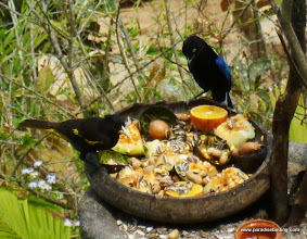Photo: San Blas Jay (right) and Yellow-winged Cacique, Vallarta Botanical Gardens