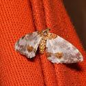 Magpie Moths