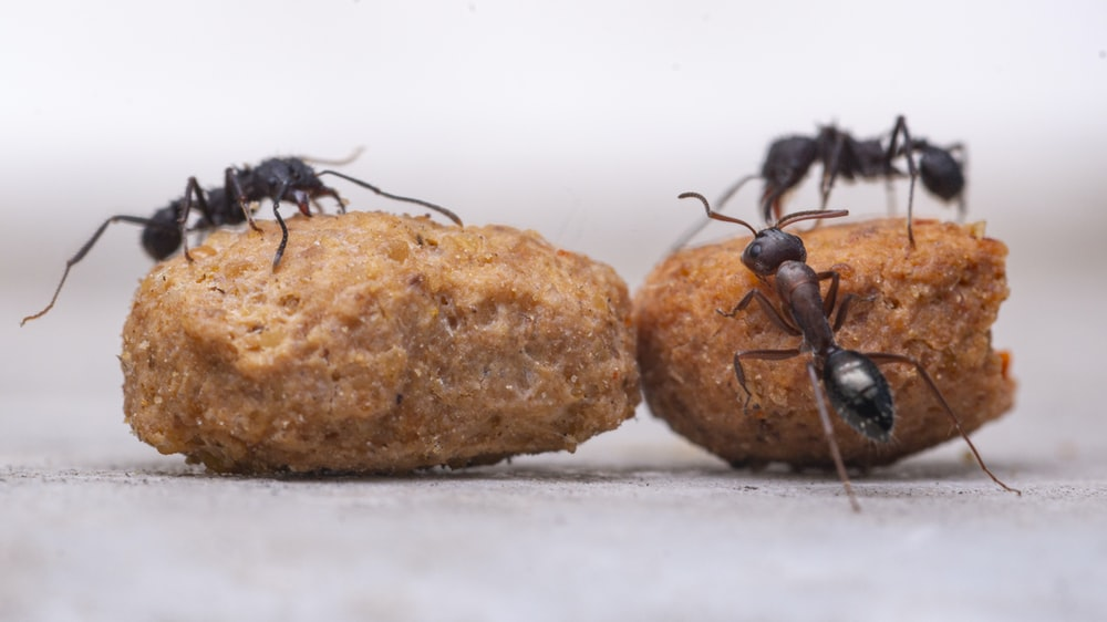 three black ants