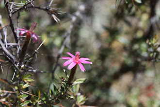 "Photo: Llaulli / Barnadesia caryophylla (Página 88. Flores de Machu Picchu) ""Alturas"" del valle del Urubamba"