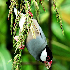 The Java Sparrow by Iwan Hunowu - Animals Birds ( endemic, padda oryzivora, indonesia, gelatik jawa, java sparrow )
