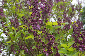 Photo: Purple lilac just beginning to open and offer up its fragrance