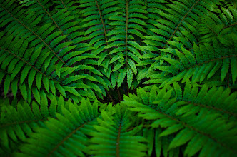 Photo: Ferns of Kamakura  Last week when exploring one of the many interesting parts of Kamakura with +Anthony Wood, I came across some ferns growing on the side of a path. Normally I'd probably pass by without much thought but the fresh green of the leaves mixed with the lighting of the morning caught my eye. Details like these can be easy to overlook, but paying attention as a photographer can be rewarding!  More photos at the blog: http://lestaylorphoto.com/ferns-of-kamakura/