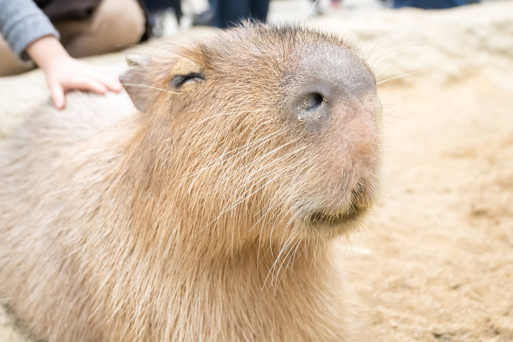 Kobe Animal Kingdom capybara2