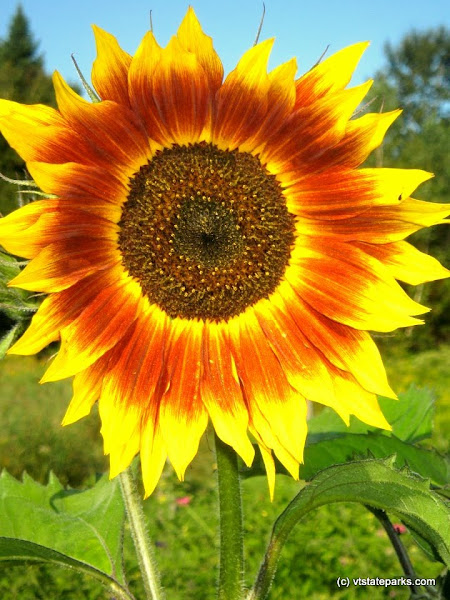 Photo: Sunflower at Seyon Lodge State Park