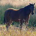 Horse (wild)
