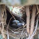 Finche's eggs & pigeons/ Gorrión   Negro's eggs & pigeons/ Black-faced grassquid eggs & pigeons