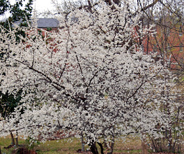 Photo: Prunus mexicana, Mexican plum.