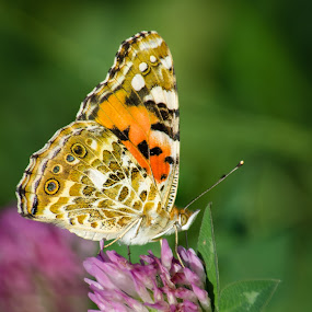 sad by Cretu Stefan Daniel - Animals Insects & Spiders ( butterfly, story, sad, colors, antenna )