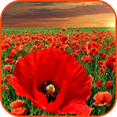 Field Poppies Wallpapers