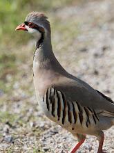 Photo: Chukar Partridge near Attwater Prairie Chicken National Wildlife Refuge
