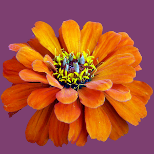 Orange Zina.jpg