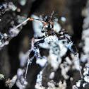 Dandy Spiders