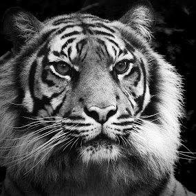 Tiger portrait by Ana Paula Filipe - Black & White Animals ( black, animal, tiger, portrait, close )