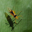 Unknown Assassin bug