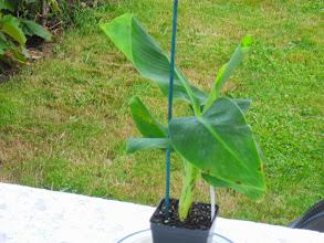 Photo: My Musa Cavendish Banana Tree when I recieved him