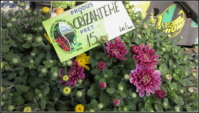 Photo: Crizanteme - din Turda, Parcul Centra, AgroFest 2019 - 2019.09.21