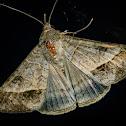 Curuquerê-dos-Capinzais / Small Mocis Moth