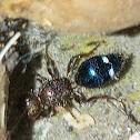 Velvet ants (parasitoid wasp) ♀️
