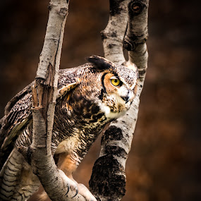 Great Horned Owl by Chris Martin - Animals Birds ( bird, animals, bird of prey, owl, wildlife, birds, owls, great horned owl,  )
