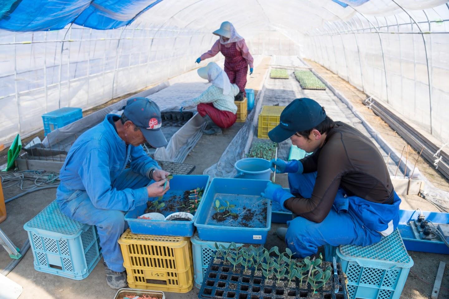 ひまわりスイカの接木苗作り作業