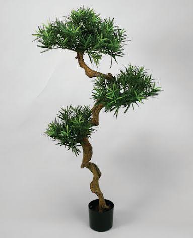 Podecarpus - 115cm - 170cm