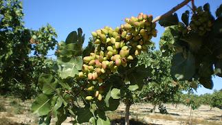 Un pistachero  en producción en una zona de interior de la provincia de Almería.