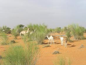 Photo: po drodze pasące się wielbłądy przy osadzie