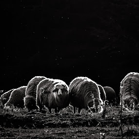 Black and white sheep by Adrian LUPSAN - Black & White Animals ( sheep )