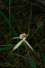 Photo: Caladenia longicauda