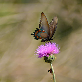 Black Swallow Tail Butterfly by Chandal Chenier - Animals Insects & Spiders ( butterfly, texas, spring )