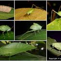 Angle-wing katydid life cycle