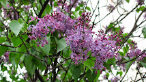 Photo: Liliac - de pe Str. Lianelor - (2014.04.15) album http://ana-maria-catalina.blogspot.ro/2016/04/liliac-syringa-vulgaris.html