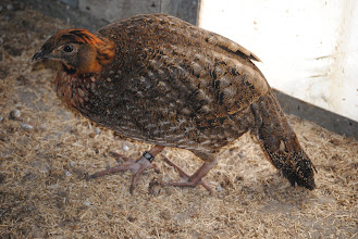 Photo: young male Tragopan caboti