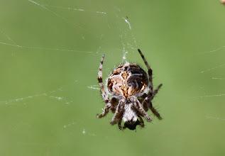 Photo: Agalenatea redii  ARACHNIDA > Araneae > Araneidae