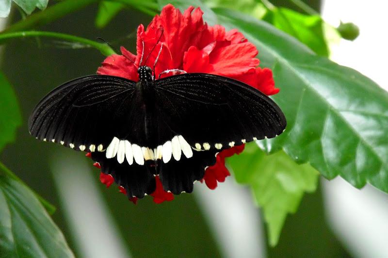 Madame Butterfly di joysphoto
