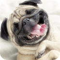 Pug Dog Live Wallpaper icon