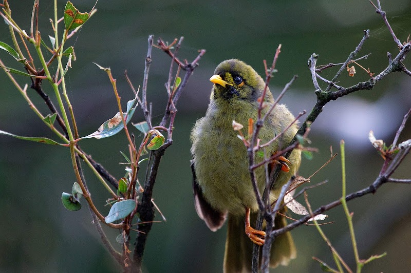 A bell miner, or bellbird, looks out at the Royal Botanic Gardens in Melbourne.